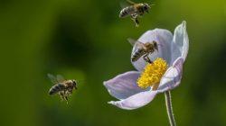 İngiltere'nin En Büyük Arı Çiftliği, Arıların Kilitleme Sırasında Geliştiğini Buluyor