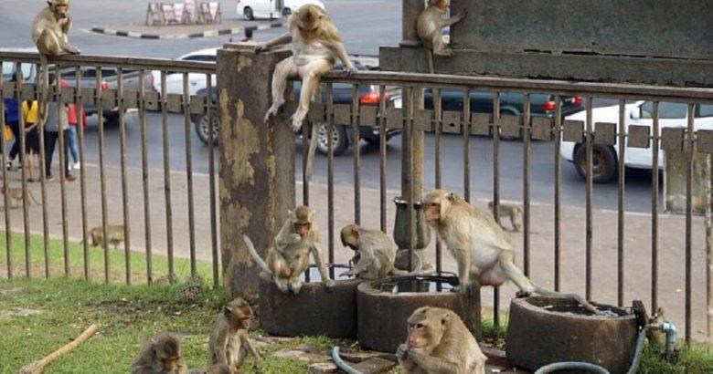 Maymunlar Kendilerine Ait Olan Lop Buri Kentini İnsanlardan Geri Aldı.