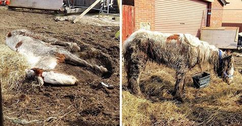 Çamurun İçinde Yatan 'Ölü' Atın Yaşadığı Ortaya Çıktı, Tedaviden Sonraki Değişimi Göz Kamaştırdı