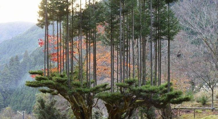 Japonların Ağaç Kesmeden Odun Üretmelerini Sağlayan Müthiş Teknik: Daisugi