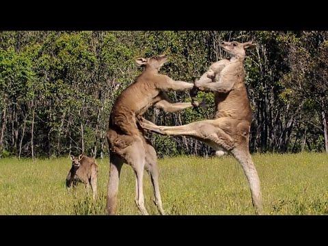Hayvanlar Alemindeki Devasa Dövüşler