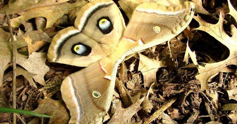 Dünyanın En Güzel 10 Güvesi / kelebeği