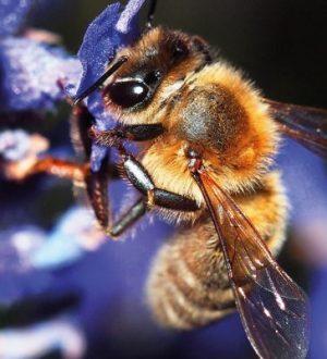 Arılar Dünyanın En Önemli Canlılarını Seçti