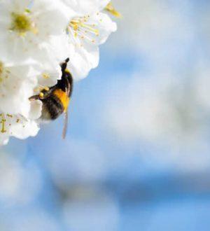 Bombus arıları bir çiçeğin nemini algılayabilir